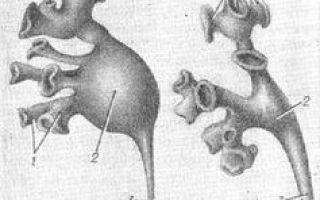 Почки анатомия