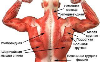Как устроены мышцы позвоночника