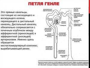 Нефрон основная структурно функциональная единица