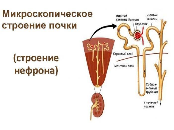 клубочки в организме