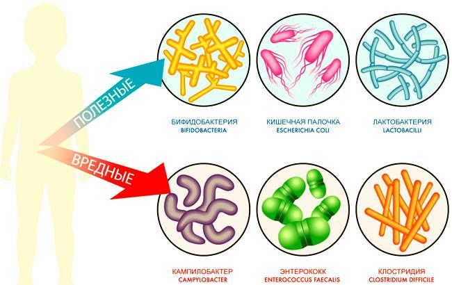 Виды полезных и опасных бактерий при цистите