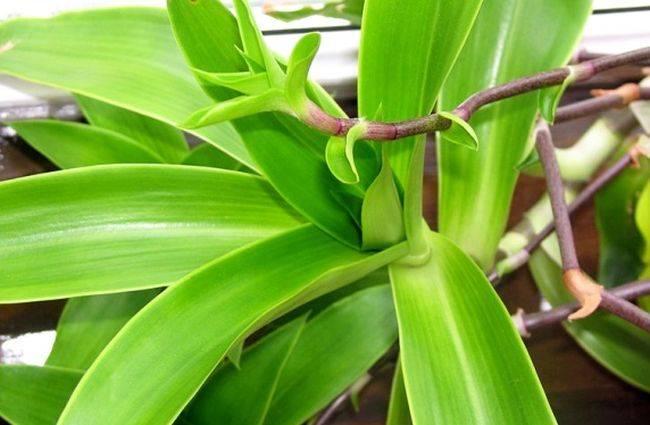 Растение Золотой ус помогает при лечении кисты почек