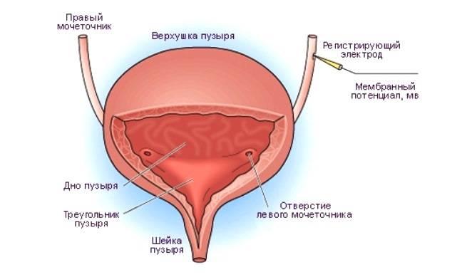 Где расположен мочевой пузырь у женщин — Почки
